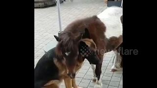 German shepherd rejects Shetland pony's affection