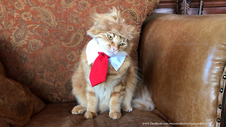 Funny Cat Models Trump Halloween Costume - Video