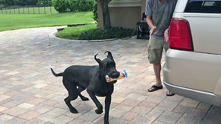 Great Dane asked to carry treats inside, steals them for herself