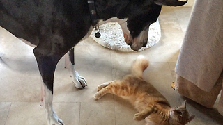 Great Dane and Cat playing togehter