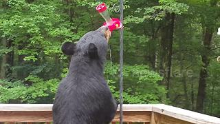 Black bear drinks from hummingbird feeder - Video