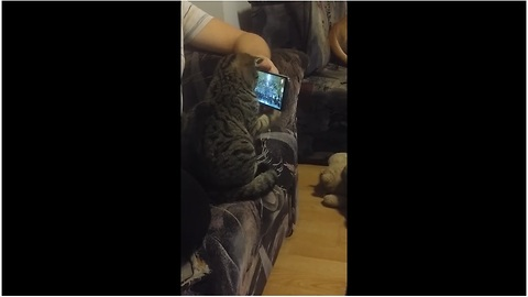 "Cat ""conductor"" watches symphony video on smartphone"
