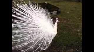 White Peacock Turns Heads at Canadian Park - Video