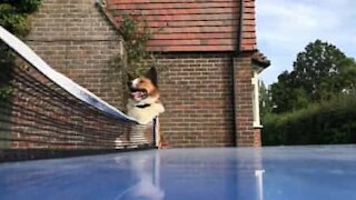 Dog thinks he's a ping-pong referee