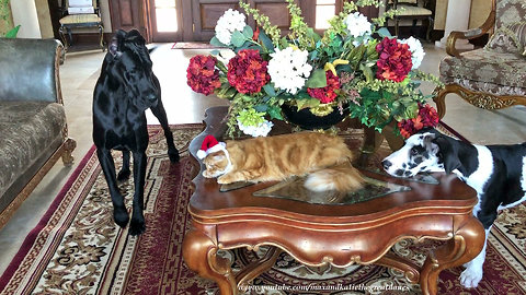 Pets get ready for their Christmas card photos