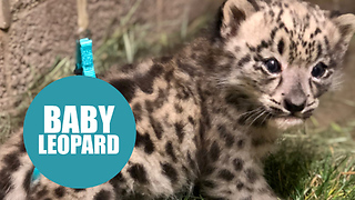 Snow leopard cub born with defect has therapy to help it learn how to walk