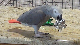 Jolly parrot plays tossing game with holiday bows