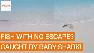 Baby Shark Catches Fish on a Maldives Beach - Video