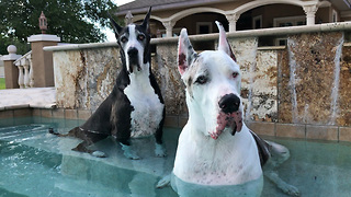 Talking Great Danes Enjoy a Chat in the Pool