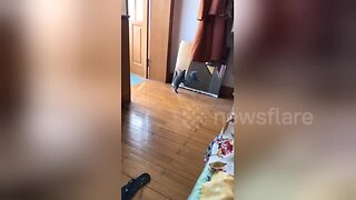 Tiny kitten walking past mirror in China is terrified of its own reflection