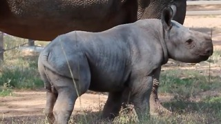 Baby Rhino Frolicks Around Taronga Western Plains Zoo - Video