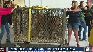 Rescued tigers arrive at Big Cat Rescue in Tampa - Video