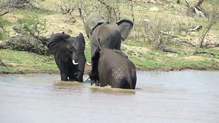Elephants have a splash fight in the Kruger - Video