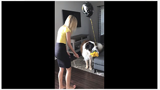 Jealous Saint Bernard steals owner's anniversary flowers - Video