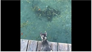 Curious Cat Closely Observes Sharks From The Dock