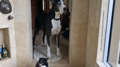 Great Dane impatiently waits for cat to finish shower