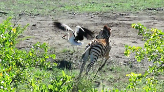 Playful Baby Zebra Loves Chasing The Storks - Video