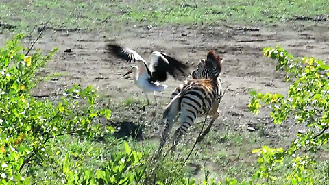 Playful Baby Zebra Loves Chasing The Storks