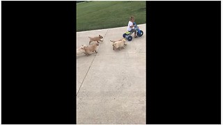 Kid on tricycle gets chased by litter of puppies
