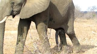 Safari tourists spot 'five-legged' elephant - Video