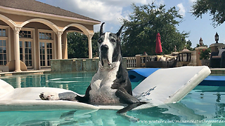 Great Dane Loves Relaxing on her Pool Floatie - Video
