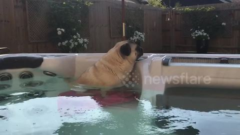 Pug relaxes in a hot tub during summer heatwave