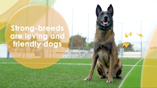 Strong-breeds are loving and friendly dogs - Video
