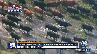 Hundreds of cow rescued from flooded ranch in Okeechobee County - Video