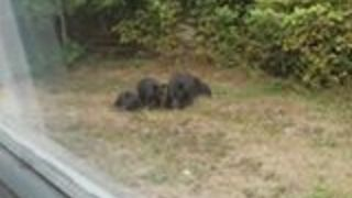 Family of Bears Spotted in the Backyard - Video