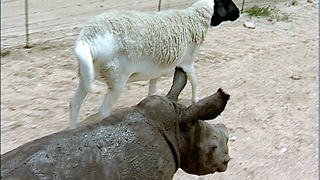 Cute baby rhino orphan and sheep companion