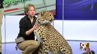 Cincinnati Zoo's cheetah, Donni, works as animal ambassador - Video