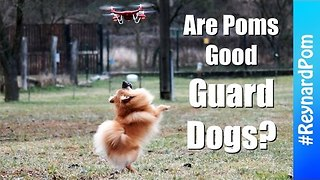 Drone Doesn't Stand a Chance Against This Pomeranian - Video