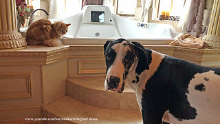 Fearless cat loves to tease giant Great Dane puppy