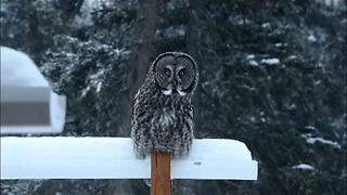Great Grey Owl Caught On Camera In All His Beauty - Video