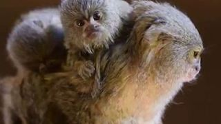Double Trouble: Newborn Pygmy Marmoset Twins Cling to Mum at Sybmio Wildlife Park - Video