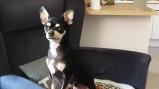 Chihuahua guard dog only wakes up for emergency - Video