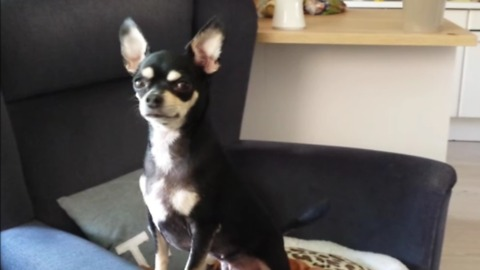 Chihuahua guard dog only wakes up for emergency
