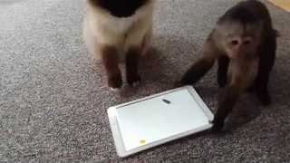 Rude Monkey Flips Cat's iPad - Video