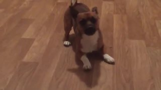 Dizzy pup can't stop spinning in circles - Video