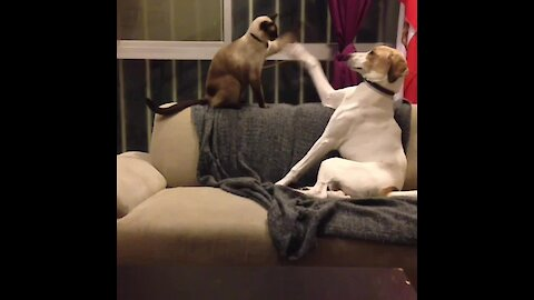 Dog & cat play inter-species game of patty cake