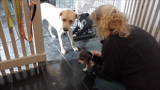Beagle puppy teaches rescued dogs to trust humans - Video