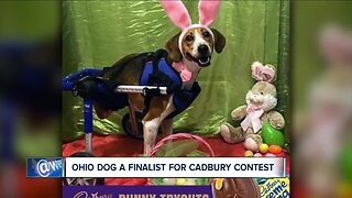 Two-legged Ohio dog competing to become next Cadbury Bunny