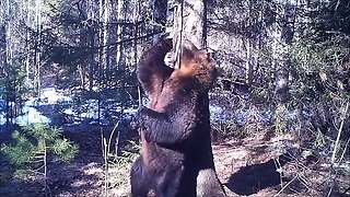 Brown Bear 'Dances' Against Tree In Russian Nature Reserve - Video