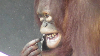 Intelligent orangutan flosses with rubber band