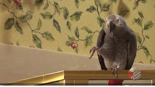 Parrot invites owner to candlelight dinner  - Video
