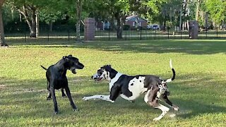 Funny Great Danes enjoy their morning wrestling romp