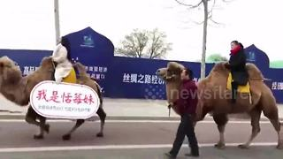 Women ride camels to work to raise environmental awareness - Video