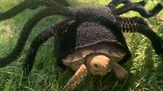 Turtle wears spider costume for Halloween