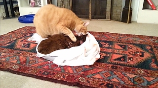 Cat tries to revive his dead friend - Video