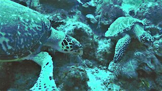Critically endangered sea turtles meet on the reef in Belize
